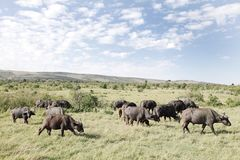 Buffaloes in the Grassland Royalty Free Stock Photography
