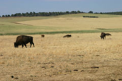 Buffaloes Grazing. Just outside Zion National Park in Utah, buffaloes graze in a field Stock Images