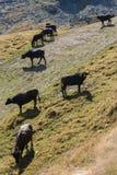 Buffaloes grazing on steep slope Royalty Free Stock Image