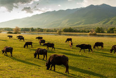 Buffaloes in Greece Stock Image
