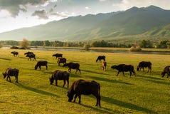 Buffaloes in Greece Stock Image
