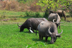 Buffaloes on the green field. Animals eat grasses Stock Photography
