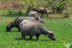 Buffaloes on the green field. Animals eat grasses on a sunny day with hot weather Stock Images