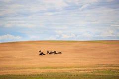 Buffaloes Royalty Free Stock Photo