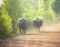 Buffaloes Royalty Free Stock Image