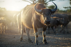Buffaloes herd in Thailand. Royalty Free Stock Photos