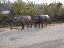 buffaloes Stock Images