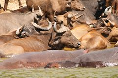 Buffaloes and hippos Royalty Free Stock Photography