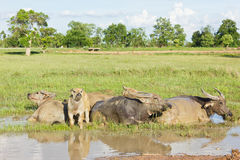 Buffaloes are immersed in water. Royalty Free Stock Photography