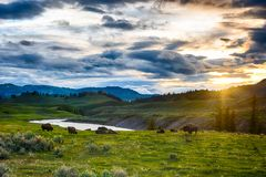 Free Buffaloes In Yellowstone National Park In USA Stock Photos - 162285763
