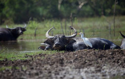 Buffaloes in the lake Royalty Free Stock Image