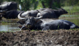 Buffaloes in the lake Stock Image