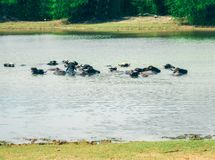 Buffaloes in the lake, View of Yala national park, sri lanka`s most famous wild life park.  stock images