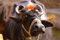 Buffaloes and Life in a Village Royalty Free Stock Images