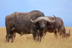 Buffaloes at the masai mara Royalty Free Stock Photos