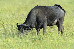 Buffaloes stock photos