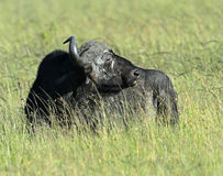 Buffaloes Stock Photo