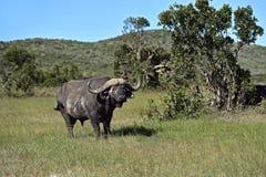 Buffaloes in the Masai Mara stock photo