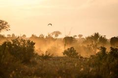 Buffaloes in the morning, Kenya, Africa Stock Photos