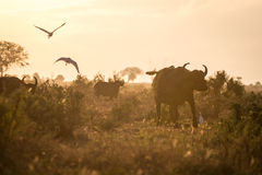 Buffaloes in the morning, Kenya, Africa Stock Photography