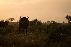 Buffaloes in the morning, Kenya, Africa Stock Image