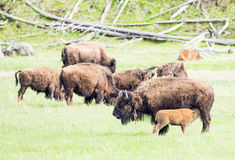 Buffaloes Royalty Free Stock Photos