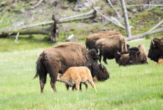 Buffaloes Royalty Free Stock Images