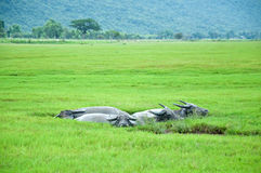 Buffaloes in the mud puddle Royalty Free Stock Images