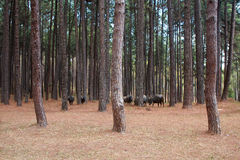 Buffaloes in pine park Royalty Free Stock Images