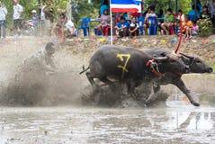 Buffaloes racing Royalty Free Stock Photo