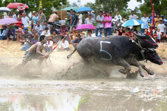 Buffaloes racing. CHONBURI, THAILAND - JULY 01: Buffaloes racing on Jul 01, 2012 in Chonburi, Thailand.The event is normally held before the rice planting season royalty free stock photo