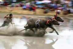 Buffaloes racing Stock Image
