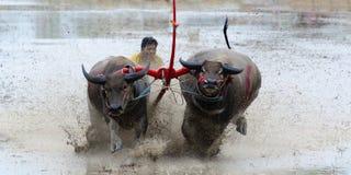 Buffaloes racing Royalty Free Stock Photography