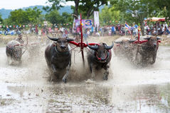 Buffaloes racing Stock Image