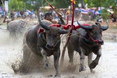 Buffaloes racing Royalty Free Stock Photos