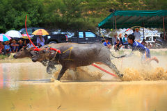 Buffaloes racing Royalty Free Stock Images