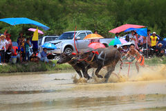 Buffaloes racing Stock Photography