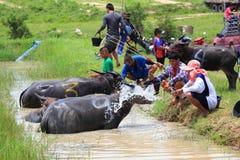 Buffaloes racing Stock Photos