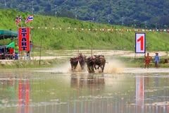 Buffaloes racing Stock Images