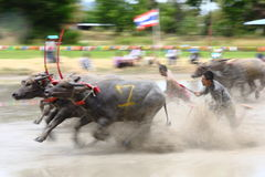 Buffaloes racing culture Thailand Royalty Free Stock Image