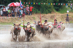 Buffaloes racing culture Thailand Stock Photography