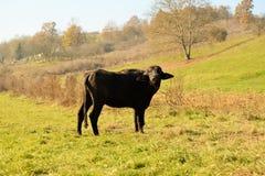 Buffaloes Stock Image