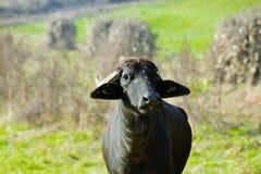 Buffaloes Royalty Free Stock Photography