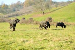 Buffaloes Royalty Free Stock Images