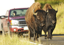 Buffaloes Road Scene Royalty Free Stock Photos
