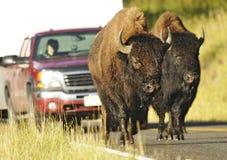 Buffaloes Road Scene Royalty Free Stock Photos