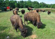 Buffaloes Roaming in a Field stock image