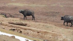 Buffaloes stock video