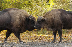 Buffaloes sniffing each other Royalty Free Stock Photo