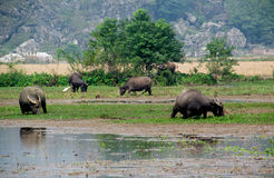 Buffaloes in the swamp on the flooded fields in Vietnam Royalty Free Stock Photography